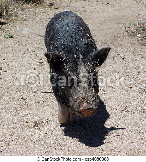 Pig in the desert wags his tail all covered in sticks - csp4080368