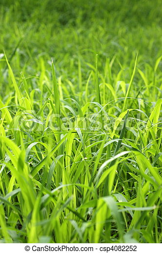 Abstract Background Texture of Tall Green Grass in Summer - csp4082252