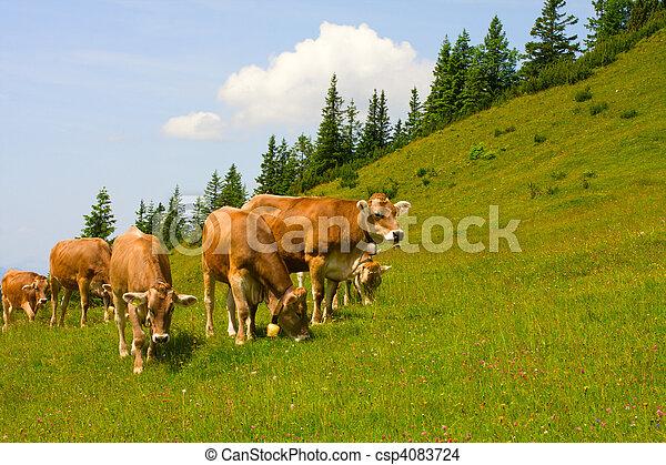 Herd of cows grazing in Alps - csp4083724