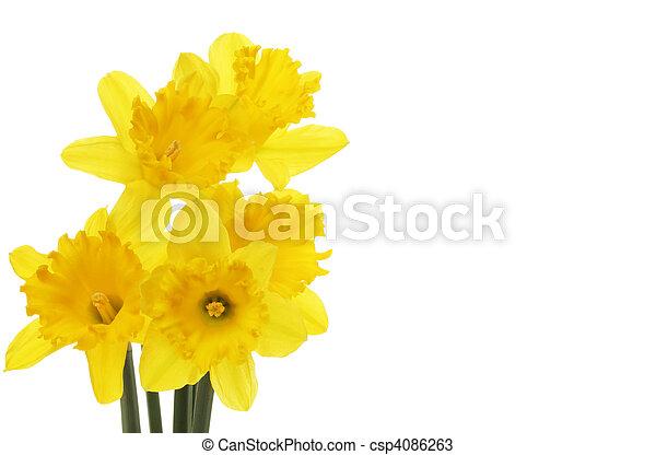 Daffodil flowers - csp4086263