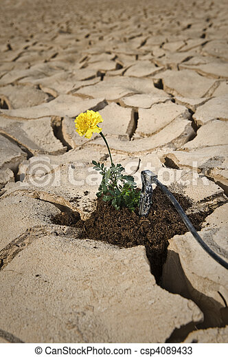 yellow flower cracked soil irrigation - csp4089433