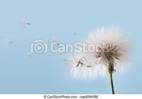 Dandelion - csp4094386