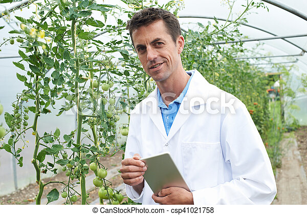 Male Scientist In Greenhouse Researching Tomato Crop