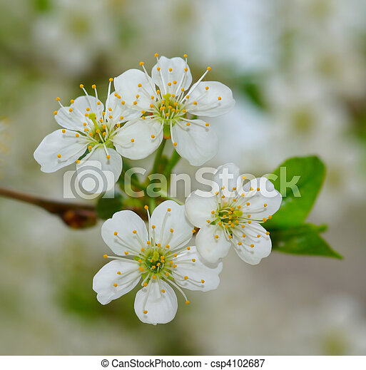 branch of tree in abloom - csp4102687
