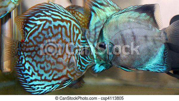 Discus fish - csp4113805