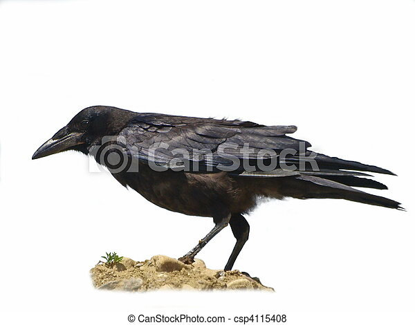 Rook isolated  Corvus frugilegus - csp4115408