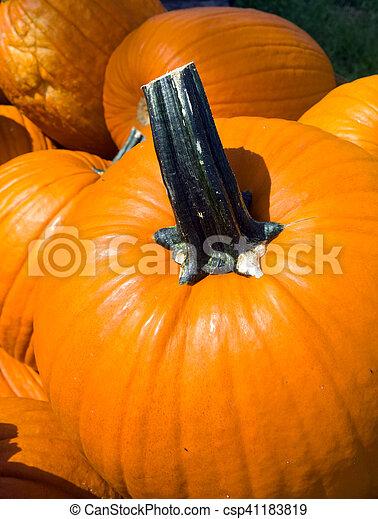 Patch of Pumpkins - csp41183819