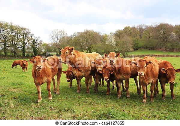 Inquisitive Limousin Calves - csp4127655