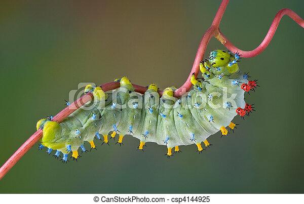 Cecropia caterpillar on vine - csp4144925