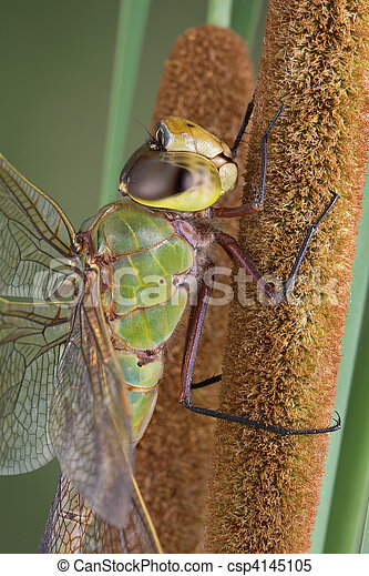 Dragonfly on cattail - csp4145105