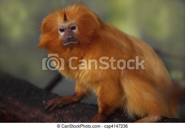 Golden Lion Tamarin - csp4147236