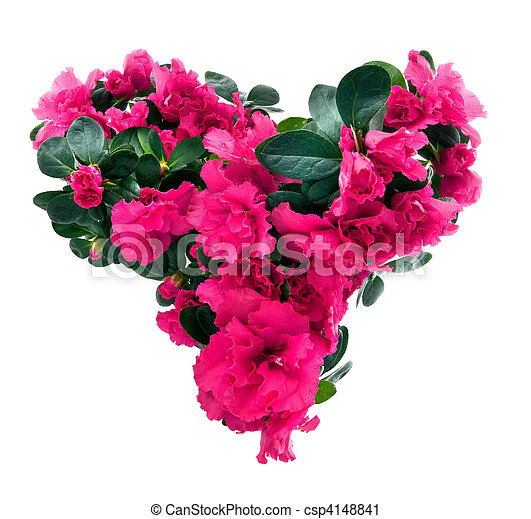 heart from azalea flowers for valentine's day isolated on white - csp4148841