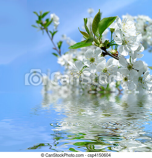 Blooming cherry tree and blue sky with refletion in water - csp4150604