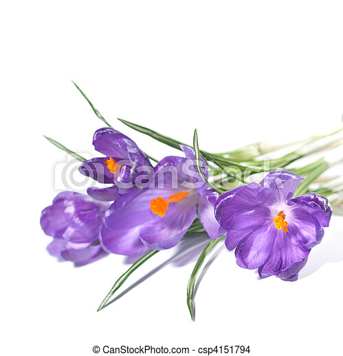 crocus bouquet isolated on white - csp4151794