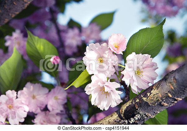 spring blossom of purple sakura - csp4151944