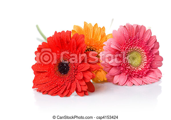 Bouquet from daisy-gerbera with water drops isolated on white - csp4153424