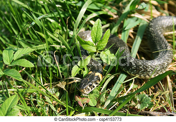 snake reptile creeping in the grass - csp4153773