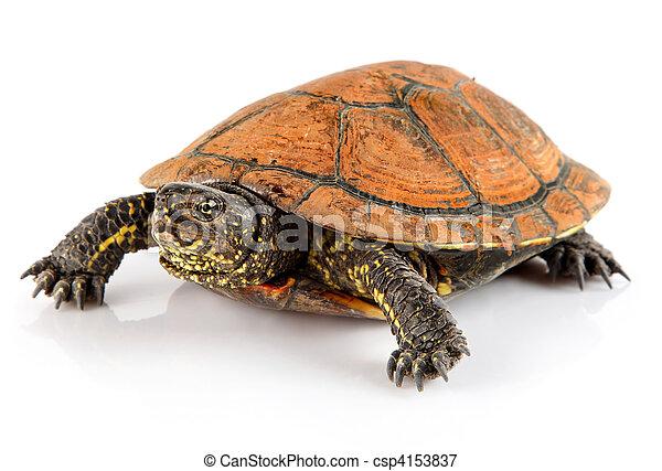kedvenc, fehér, teknősbéka, állat, elszigetelt - csp4153837