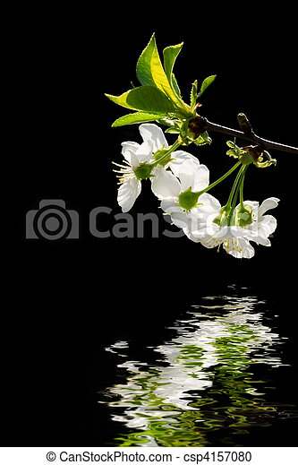 White flowers reflecting in water - csp4157080