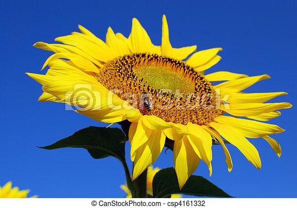 honeybee on sunflower - csp4161332