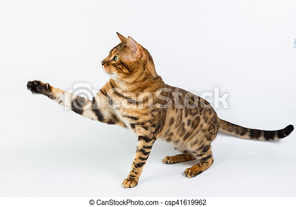Young Bengal cat on a white background in the studio isolated playing with toy