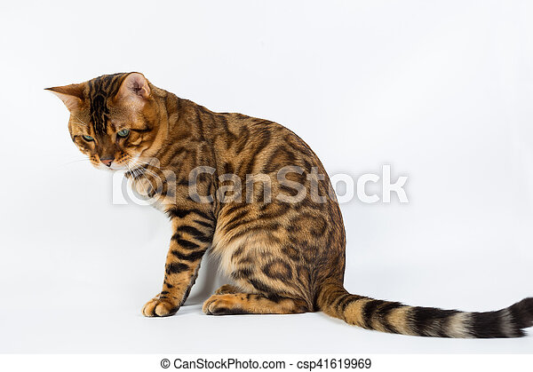 Young Bengal cat on a white background in studio isolated