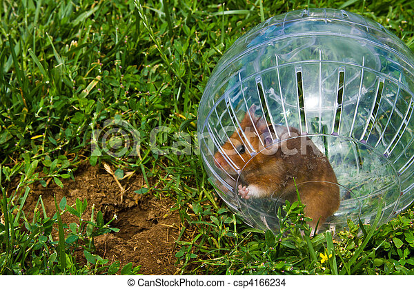 Rodent in a hamster ball wanting to go down gopher hole, so close, but so far away - csp4166234