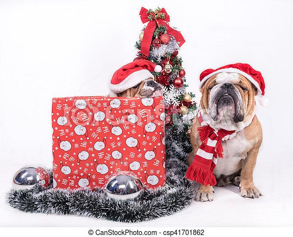 Sleeepy English bulldogs with Christmas tree,isolated on white