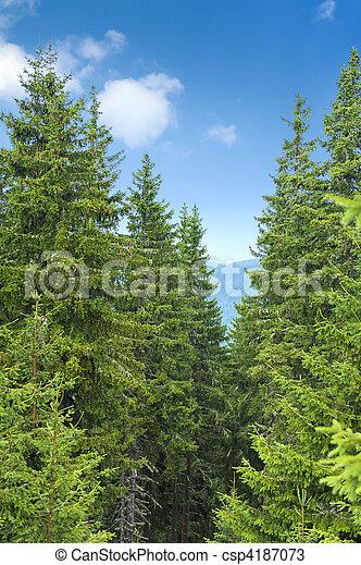 Pine trees - csp4187073
