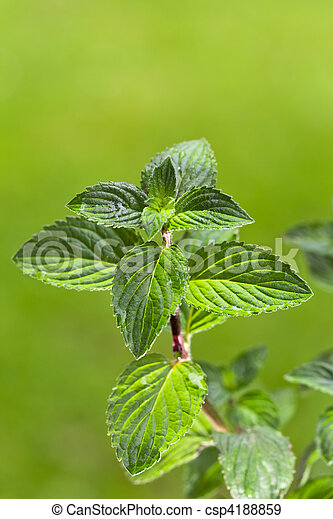 peppermint, plant, outdoors, herb, menthol, health, spice, leaf, bush, herbal, health, refreshment, spearmint, green, background, grow, organic, nature, season, foliage, fragrant, nobody, scented - csp4188859