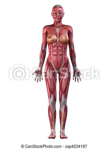 female muscular system - csp4234197