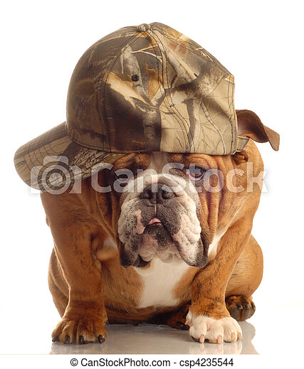 bulldog wearing hunting cap  - csp4235544