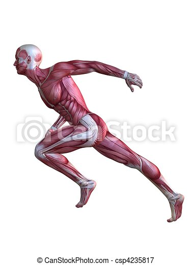 3d muscle model  - csp4235817
