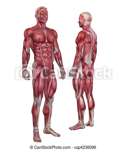 stock illustrations of human muscular system - 3d rendered anatomy, Muscles