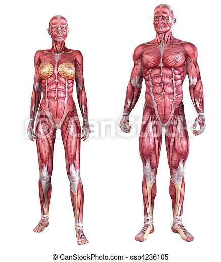 ストックイラストレーション - 人間, 筋肉, システム ...