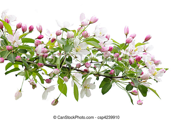 Blooming apple tree branch - csp4239910
