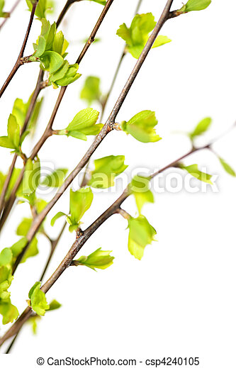 Branches with green spring leaves - csp4240105
