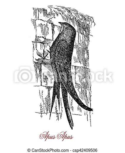 Common swift,  wildlife vintage engraving - csp42409506