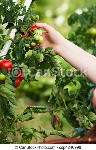 Woman harvesting tomatoes in garden - csp4240998