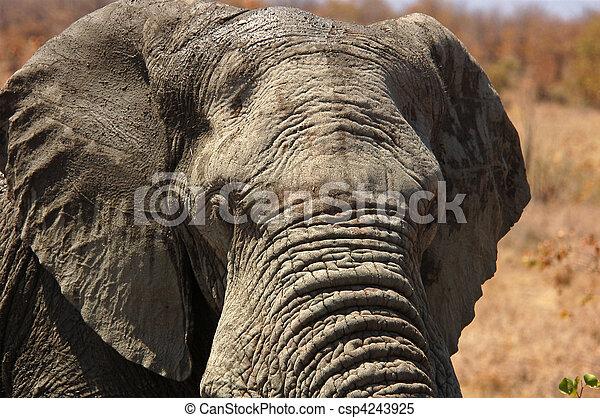 afrikanisch,  wildlife:, elefant - csp4243925