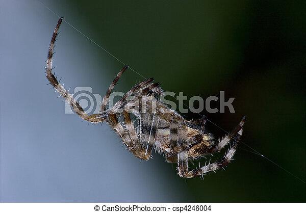 Garden Orb Spider At Work Macro - csp4246004