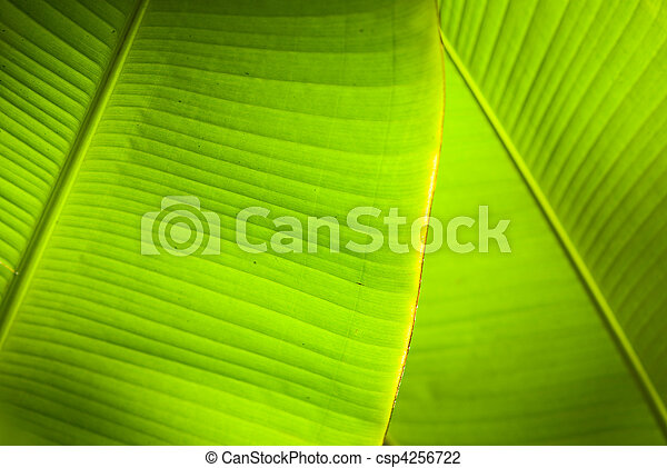 Back light overlapping banana leaves - csp4256722
