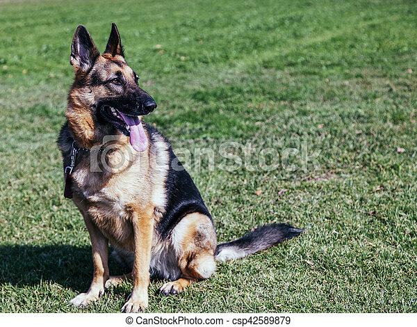 Portrait of a female German Shepherd dog, sitting on grass on a sunny day.