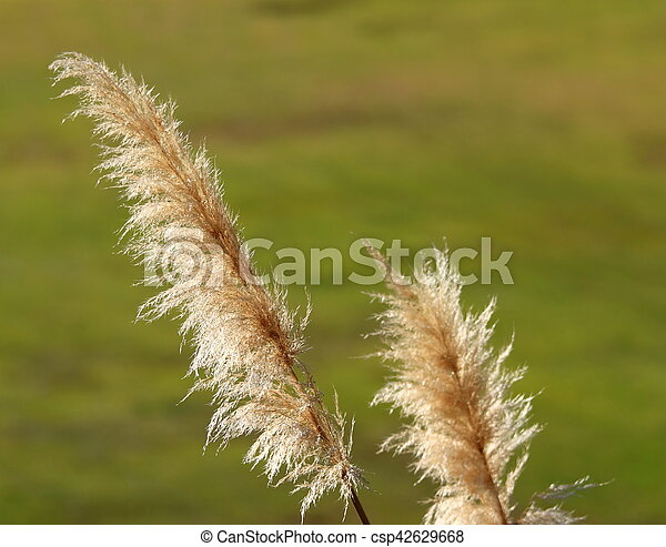 Pampas Grass - csp42629668