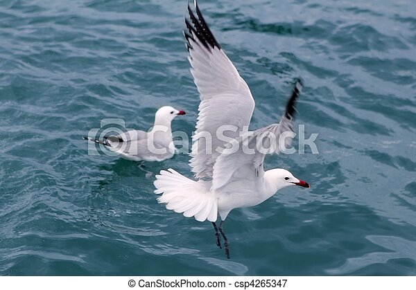 active sea gulls seagulls over blue sea ocean - csp4265347