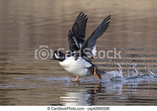 Goldeneye duck walks on water with wings stretched with trail of bubbles