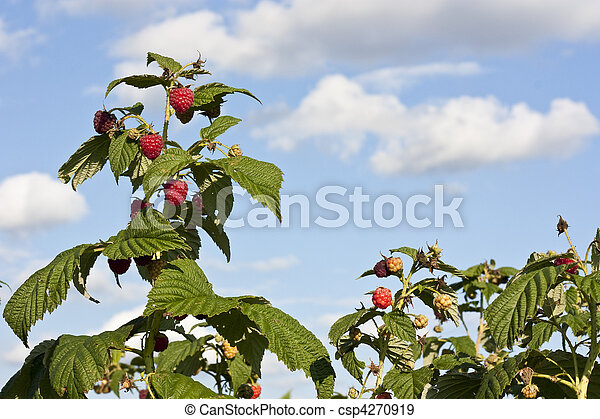 Raspberry bushes with blue sky