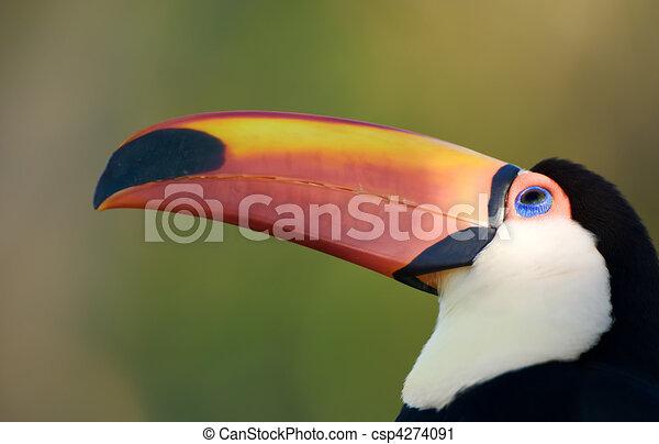 Toco toucan. - csp4274091