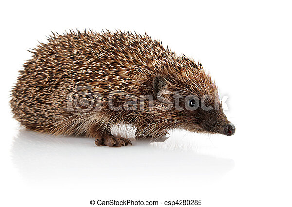 adult hedgehog isolated on white - csp4280285