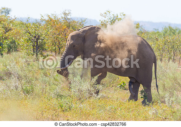 One African Elephant walking in the distance and blowing dust. Wildlife Safari in the Kruger National Park, the main travel destination in South Africa.